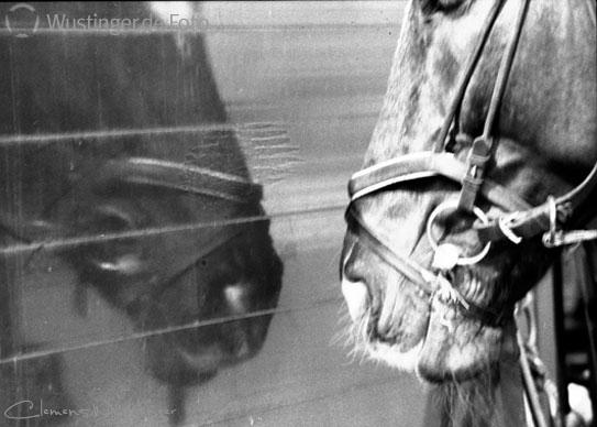 spiegelpferd in B/W, Tiere
