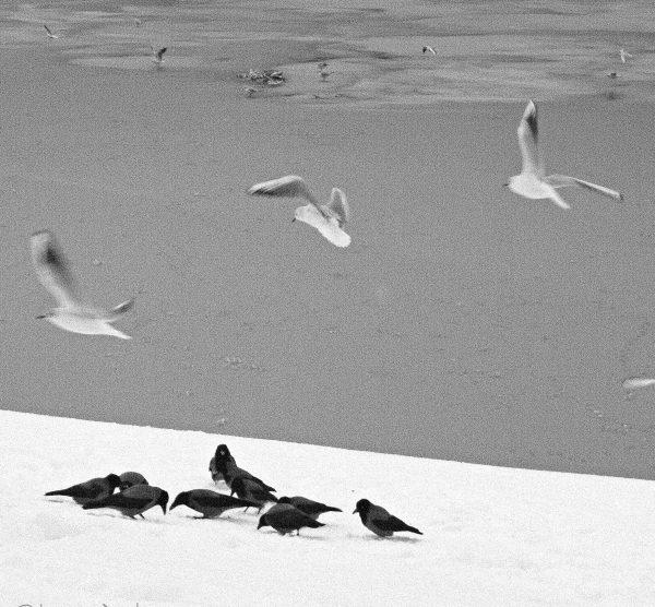 Aves B&W...